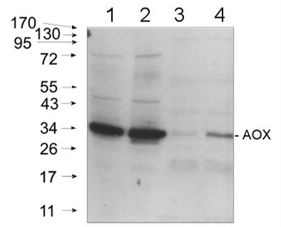 ACO1蛋白(线粒体基质)研究AS09 521抗体