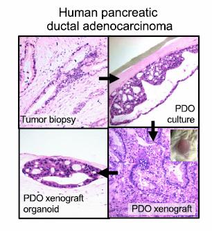 基底膜提取物BME 异种器官移植