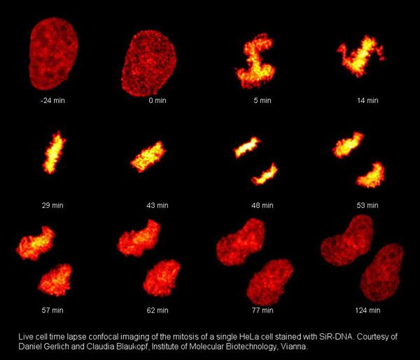 HeLa细胞有丝分裂延时成像