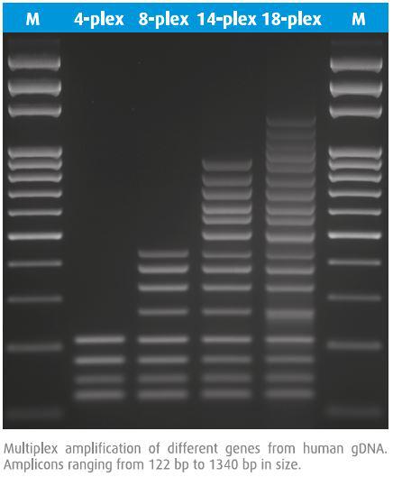 以人的基因组DNA为模板进行多重PCR