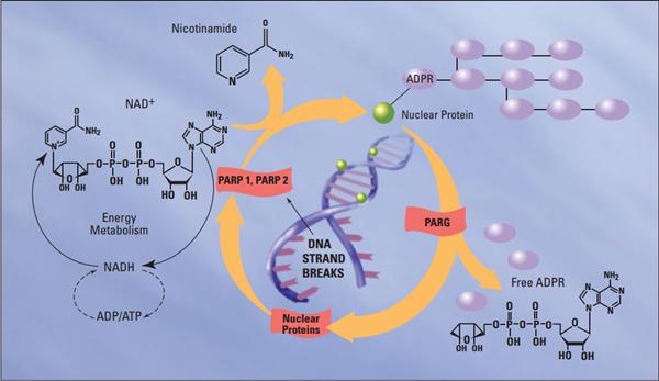 PARP-1在DNA单链断裂修复中发挥着关键作用