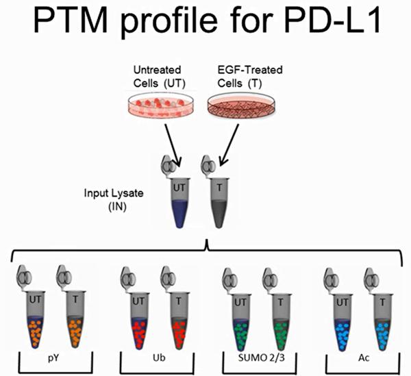 Signal-Seeker™ kit研究PD-L1蛋白的PTM串联干扰
