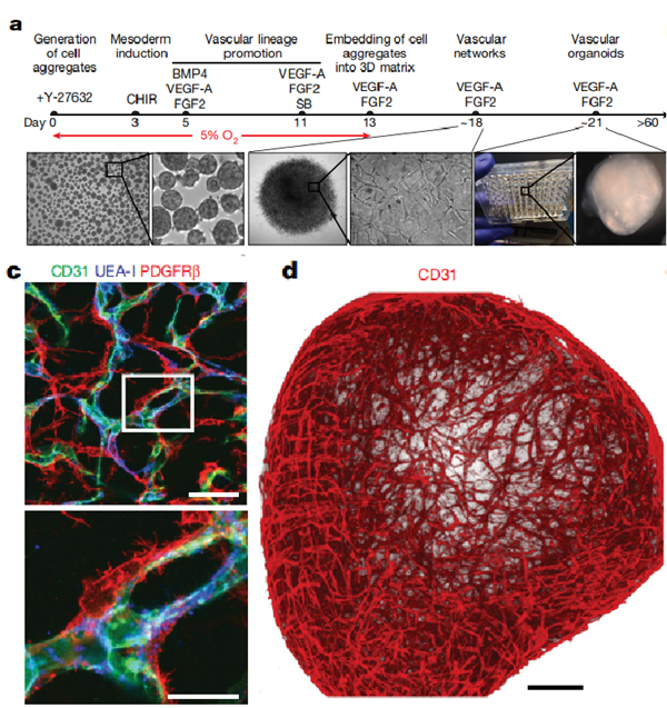 定向诱导人多能干细胞分化为血管类器官