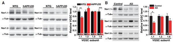小鼠皮层免疫印迹分析