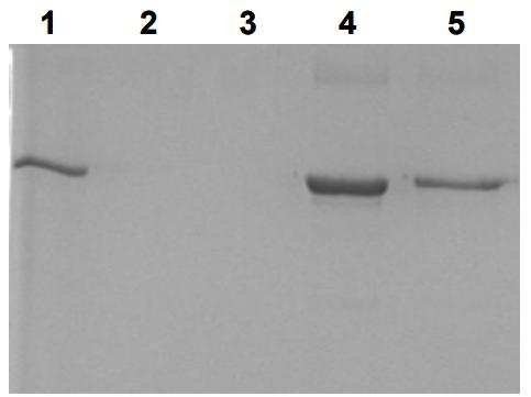 分离重组30kDa碱性蛋白质
