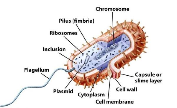 包涵体蛋白