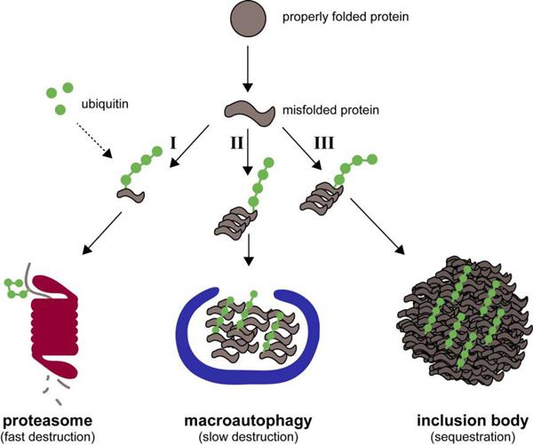 生物活性蛋白