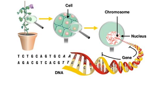植物DNA
