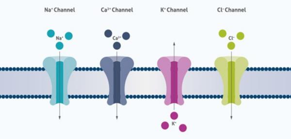 电压门控离子通道