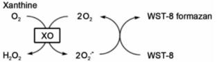XO将黄嘌呤氧化成超氧化物(O2-)
