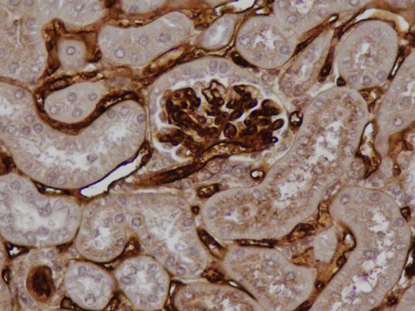 大鼠肾脏中的C6,克隆3G11染色的冷冻切片
