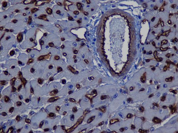 小鼠心脏组织中的C4d石蜡切片染色