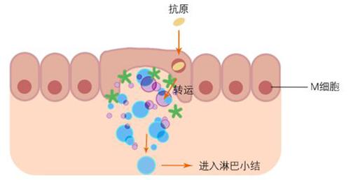 胞吞转运细胞