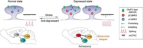 大脑多巴胺能(DAergic)奖励通路中的关键核区