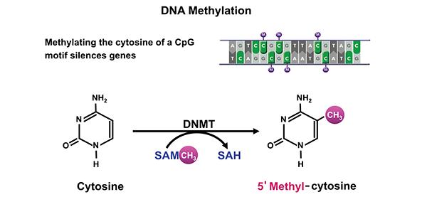 DNA甲基化转移酶