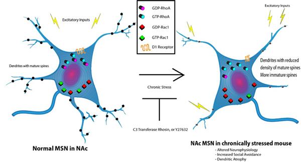 应激诱导的抑郁症(MDD)模型会导致树突棘形态