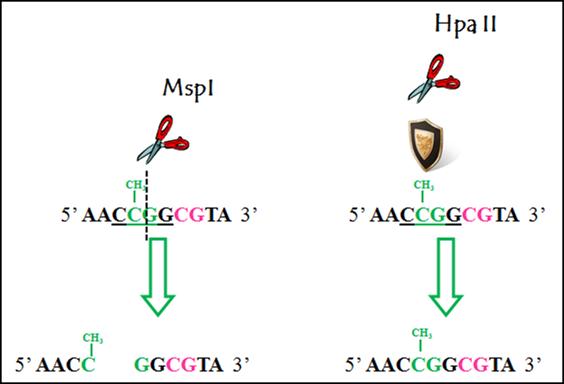 基于限制性酶切预处理的甲基化检测技术