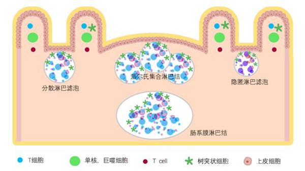 黏膜免疫系统的组成