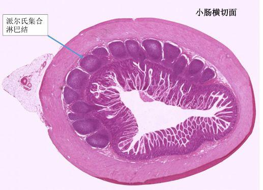 机体免疫系统的先锋-粘膜免疫