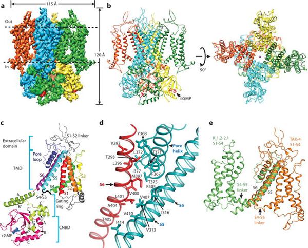 Nature解析的首个环核苷酸门控离子通道的高分辨率三维结构