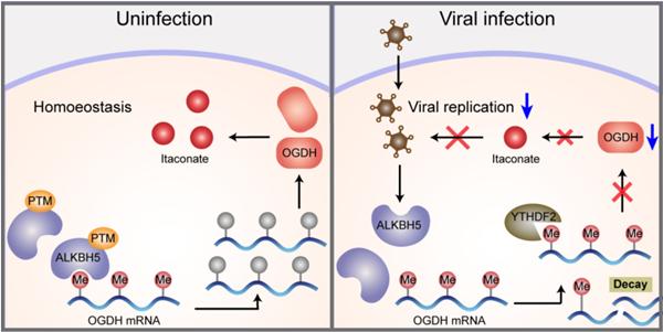 宿主细胞主动应对病毒感染