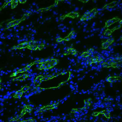 使用兔抗水通道蛋白3多克隆抗体(SPC-504)的免疫组织化学分析