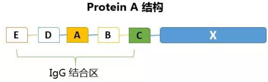 Protein A结构