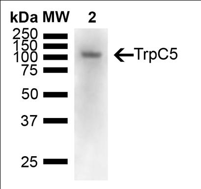 使用小鼠抗TrpC5单克隆抗体 (SMC-344) 对小鼠大脑裂解液的免疫印迹分析.