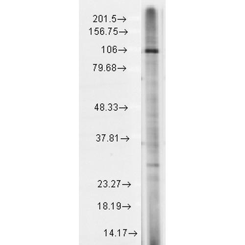 使用小鼠抗TrpC7单克隆抗体 (SMC-343) 对大鼠大脑膜裂解液的免疫印迹分析