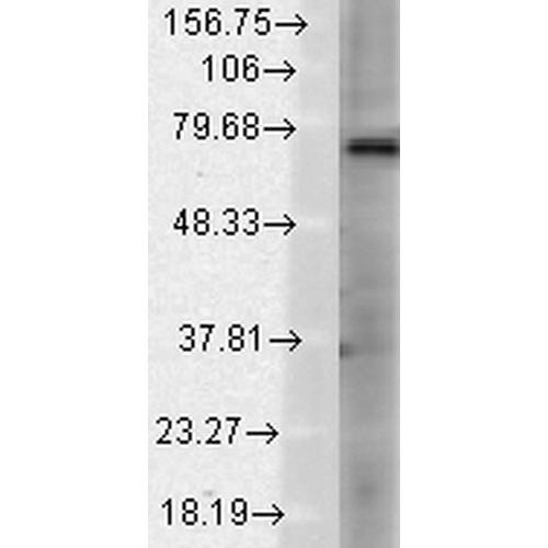 使用小鼠抗TrpV3单克隆抗体 (SMC-334) 对大鼠大脑膜裂解液的免疫印迹分析