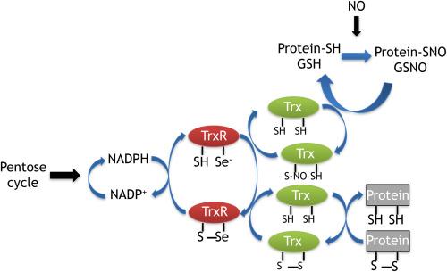 硫氧还蛋白折叠的特征性三级结构