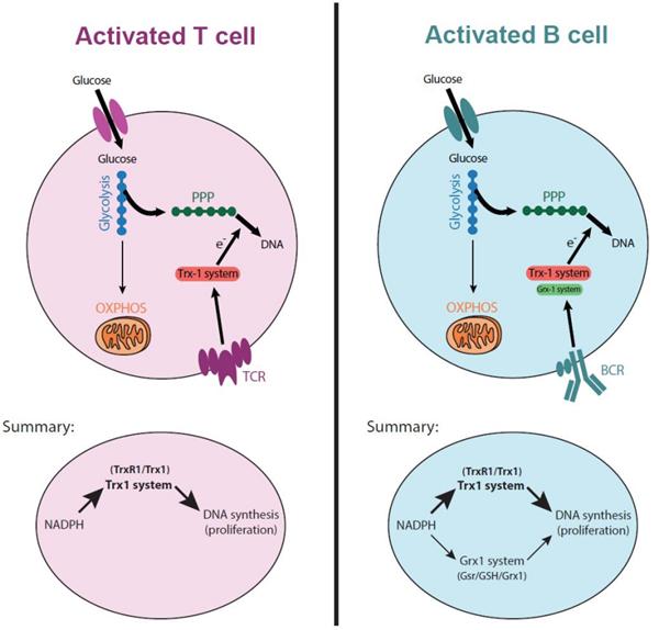 硫氧还蛋白参与促进囊泡融合