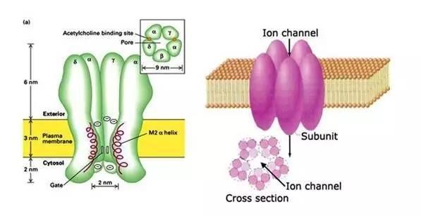 电压门控钙离子通道