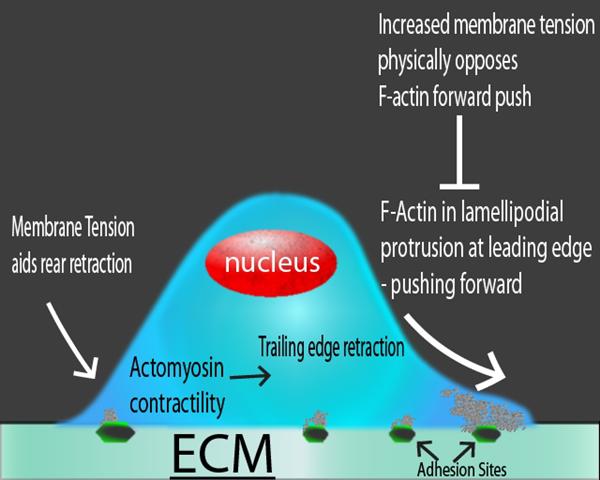 遷移細胞中不同作用力的示意圖