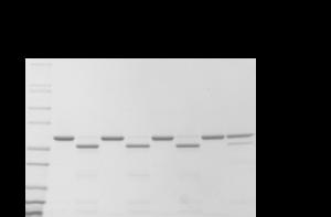 MICAL-1氧化的肌動蛋白的枯草桿菌蛋白酶A檢測