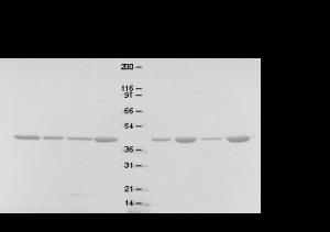 MsrB2對氧化Actin聚合的影響