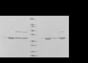 MICAL-1對Actin聚合的影響