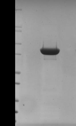 MICAL-1(MIC01)蛋白純度測定