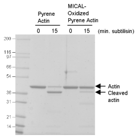 MICAL氧化Actin與天然Actin的枯草桿菌蛋白酶處理對比