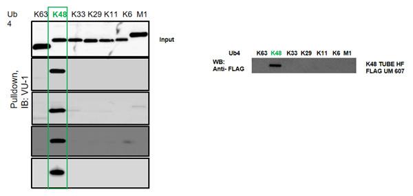 K48泛素链特异性的串联结合实体