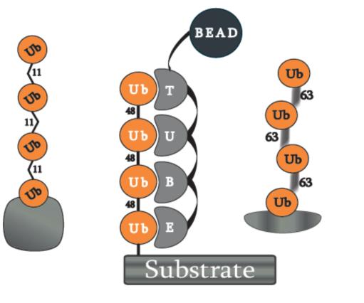 串联泛素结合实体