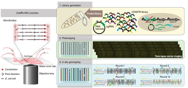 CRISPRi筛选