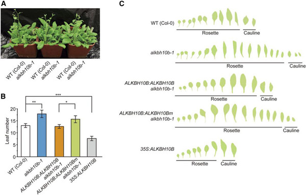 植物胚胎发育