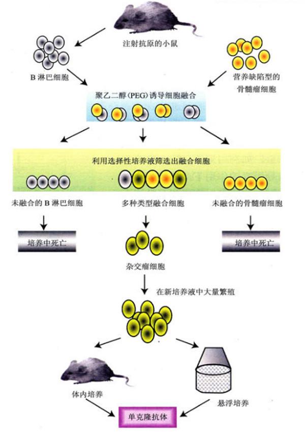 单克隆抗体制备