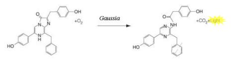 Gaussia 分泌型荧光素酶