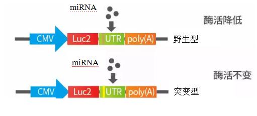 miRNA研究