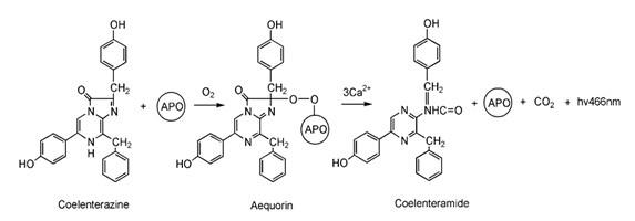 水母发光蛋白复合体