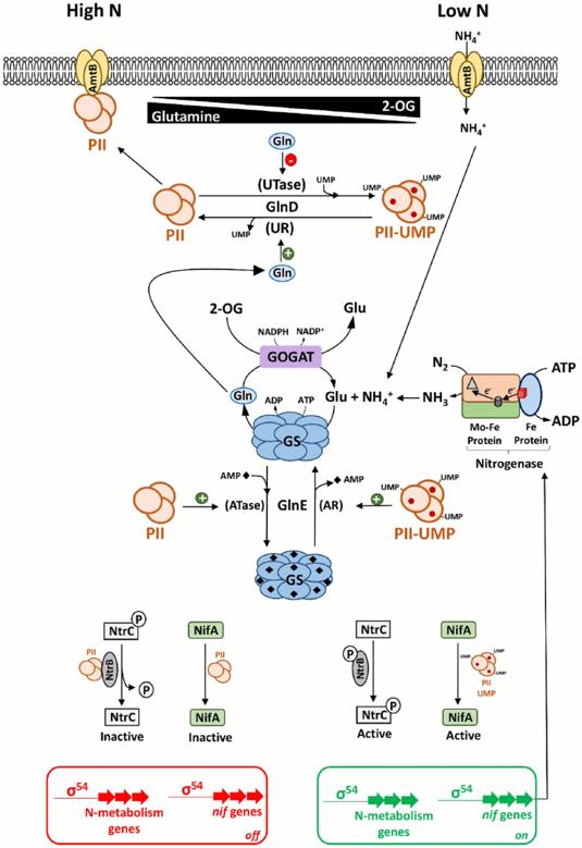 氮以硝酸根或铵离子的形式被吸收
