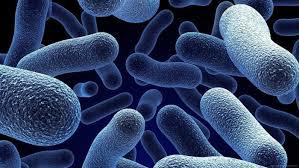 蜡状芽孢杆菌