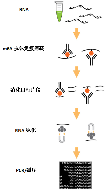 m6A RNA富集纯化原理